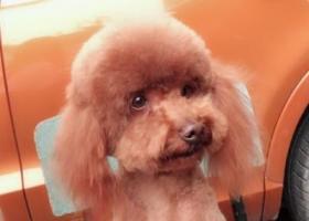 寻狗启示,成都市青羊区贝森路298号渣渣面铺寻找泰迪,它是一只非常可爱的宠物狗狗,希望它早日回家,不要变成流浪狗。