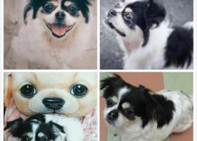 寻狗启示,【寻狗】十年的小家狗,在宠物医院丢失,它是一只非常可爱的宠物狗狗,希望它早日回家,不要变成流浪狗。