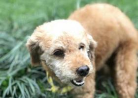 寻狗启示,盛和三路附近短毛泰迪走失,它是一只非常可爱的宠物狗狗,希望它早日回家,不要变成流浪狗。