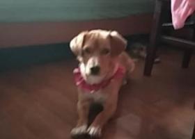 寻狗启示,寻找一只中小型金毛串淘气,它是一只非常可爱的宠物狗狗,希望它早日回家,不要变成流浪狗。