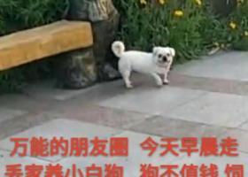 寻狗启示,莱州市仓南卫生所附近 走丢一白色京巴公狗 捡到重谢,它是一只非常可爱的宠物狗狗,希望它早日回家,不要变成流浪狗。