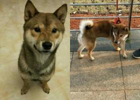 寻狗启示,深圳龙岗区布吉三联村酬谢三千元寻找柴犬,它是一只非常可爱的宠物狗狗,希望它早日回家,不要变成流浪狗。