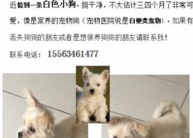 寻狗启示,在汉峪新苑小区凤天路村委会附近捡到一条白色小狗,它是一只非常可爱的宠物狗狗,希望它早日回家,不要变成流浪狗。