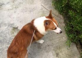 寻狗启示,浙江省嘉兴市海盐县寻黄白色柯基,它是一只非常可爱的宠物狗狗,希望它早日回家,不要变成流浪狗。