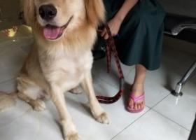寻狗启示,成都青白江区寻找一只金毛妹妹,它是一只非常可爱的宠物狗狗,希望它早日回家,不要变成流浪狗。