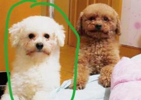 寻狗启示,寻找一只四岁的白色比熊小公狗,它是一只非常可爱的宠物狗狗,希望它早日回家,不要变成流浪狗。