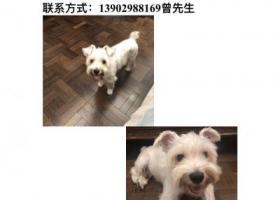 寻狗启示,深圳福田区梅林一村重金寻找雪纳瑞,它是一只非常可爱的宠物狗狗,希望它早日回家,不要变成流浪狗。