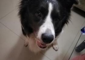 寻狗启示,捡到一只边牧,看到的联系我,它是一只非常可爱的宠物狗狗,希望它早日回家,不要变成流浪狗。