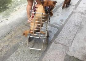 寻狗启示,7.2走丢一只中华田园犬,请见到的人尽快联系,重酬 谢谢,它是一只非常可爱的宠物狗狗,希望它早日回家,不要变成流浪狗。