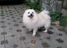 寻狗启示,重金寻赏白色博美若有发现必有重谢,它是一只非常可爱的宠物狗狗,希望它早日回家,不要变成流浪狗。