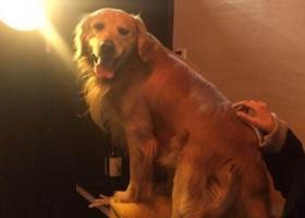 寻狗启示,杭州三墩重酬寻成年五岁金毛!望爱心人士帮忙留意,主人寻狗心切!,它是一只非常可爱的宠物狗狗,希望它早日回家,不要变成流浪狗。