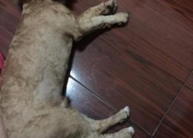 寻狗启示,替女朋友寻找养了半年的泰迪,它是一只非常可爱的宠物狗狗,希望它早日回家,不要变成流浪狗。