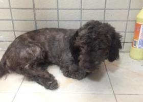 寻狗启示,谁家的黑灰色泰迪走丢了,它是一只非常可爱的宠物狗狗,希望它早日回家,不要变成流浪狗。
