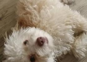 寻狗启示,急找丢失的白色小泰迪,重谢,13188887320,它是一只非常可爱的宠物狗狗,希望它早日回家,不要变成流浪狗。