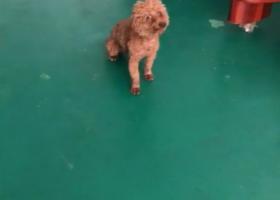 寻狗启示,丢失黄色泰迪 小个子 叫lucky,它是一只非常可爱的宠物狗狗,希望它早日回家,不要变成流浪狗。