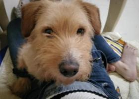 寻狗启示,沙坪坝汉渝路走失狗子一只,它是一只非常可爱的宠物狗狗,希望它早日回家,不要变成流浪狗。