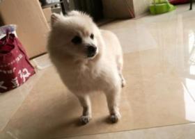 寻狗启示,寻找白色大眼睛博美,重金1万酬谢,它是一只非常可爱的宠物狗狗,希望它早日回家,不要变成流浪狗。