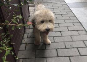 寻狗启示,7月3日上海闵行捡到中小型浅黄色泰迪男狗狗,它是一只非常可爱的宠物狗狗,希望它早日回家,不要变成流浪狗。