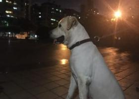 寻狗启示,捡到拉布拉多犬一只,请狗主尽快认领,它是一只非常可爱的宠物狗狗,希望它早日回家,不要变成流浪狗。
