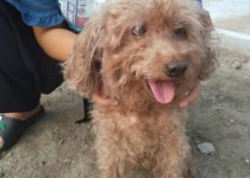 寻狗启示,捡到棕色泰迪女宝一只,它是一只非常可爱的宠物狗狗,希望它早日回家,不要变成流浪狗。
