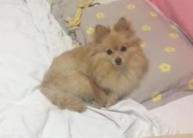 寻狗启示,重金寻狗(淡黄色博美),它是一只非常可爱的宠物狗狗,希望它早日回家,不要变成流浪狗。