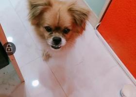 寻狗启示,石家庄万达c区捡到一只狗,它是一只非常可爱的宠物狗狗,希望它早日回家,不要变成流浪狗。