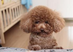 寻狗启示,北京豆各庄 垡头地区 寻找泰迪公狗,家人急找,它是一只非常可爱的宠物狗狗,希望它早日回家,不要变成流浪狗。