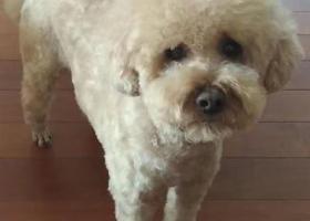 寻狗启示,2028.6.11丢的了,公狗泰迪托米,它是一只非常可爱的宠物狗狗,希望它早日回家,不要变成流浪狗。
