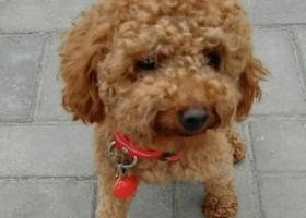 寻狗启示,寻狗启示 找我家小泰迪,它是一只非常可爱的宠物狗狗,希望它早日回家,不要变成流浪狗。