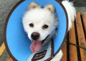 寻狗启示,陕西西安寻找狗主,银狐串串,它是一只非常可爱的宠物狗狗,希望它早日回家,不要变成流浪狗。