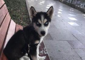 寻狗启示,一只四个月大公哈士奇,它是一只非常可爱的宠物狗狗,希望它早日回家,不要变成流浪狗。