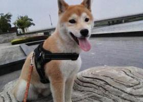 寻狗启示,重金找狗!希望有好心人提供线索,它是一只非常可爱的宠物狗狗,希望它早日回家,不要变成流浪狗。