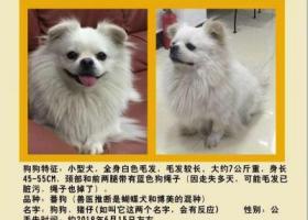 寻狗启示,狗狗猪仔(粤语)赶紧回来!!!,它是一只非常可爱的宠物狗狗,希望它早日回家,不要变成流浪狗。