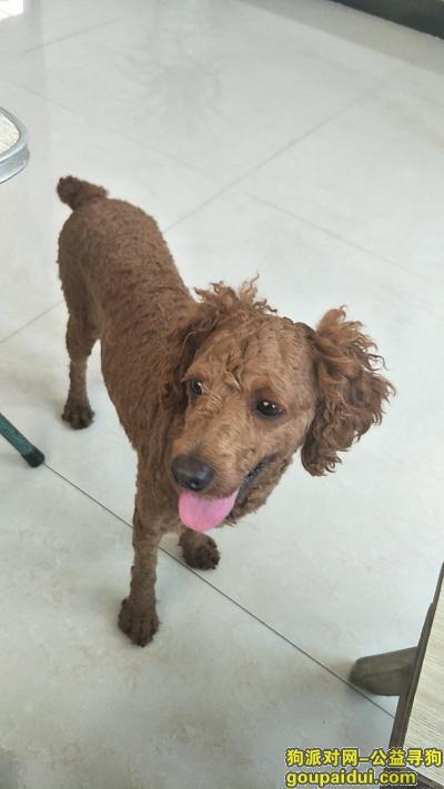 宁波找狗主人,徐霞客大道看到一泰迪,它是一只非常可爱的宠物狗狗,希望它早日回家,不要变成流浪狗。