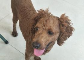 寻狗启示,徐霞客大道看到一泰迪,它是一只非常可爱的宠物狗狗,希望它早日回家,不要变成流浪狗。