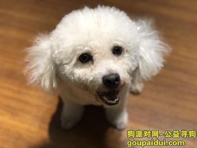 瑞安找狗,寻找比熊犬,男,三岁,它是一只非常可爱的宠物狗狗,希望它早日回家,不要变成流浪狗。