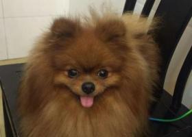 寻狗启示,重谢找回丢失红公傅美,它是一只非常可爱的宠物狗狗,希望它早日回家,不要变成流浪狗。