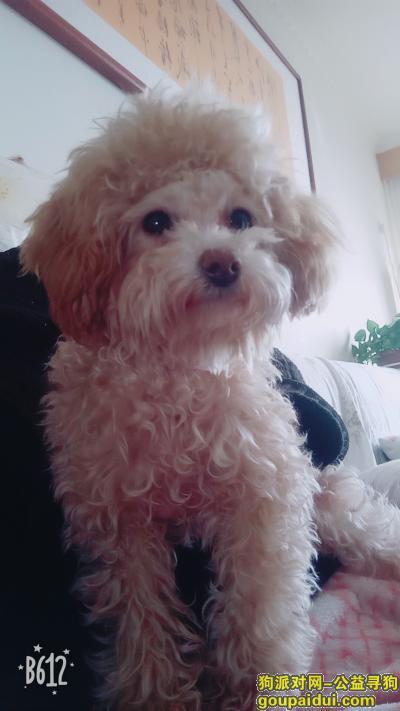 泰安丢狗,2018年7月5日于擂鼓石路望岳花园丢失一只奶白色泰迪,它是一只非常可爱的宠物狗狗,希望它早日回家,不要变成流浪狗。