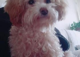 寻狗启示,2018年7月5日于擂鼓石路望岳花园丢失一只奶白色泰迪,它是一只非常可爱的宠物狗狗,希望它早日回家,不要变成流浪狗。