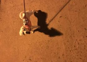 寻狗启示,寻爱狗比熊。脖子上有根红绳,左后腿瘸的,它是一只非常可爱的宠物狗狗,希望它早日回家,不要变成流浪狗。