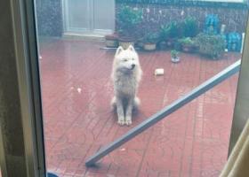 寻狗启示,潍城区腾飞路,走丢白色萨摩耶,它是一只非常可爱的宠物狗狗,希望它早日回家,不要变成流浪狗。