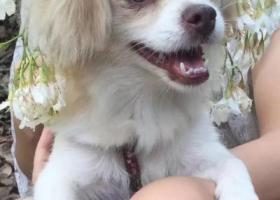 寻狗启示,寻狗启示 2018年7月15号晚上11点左右在东莞市塘厦镇江源路附近丢失,它是一只非常可爱的宠物狗狗,希望它早日回家,不要变成流浪狗。