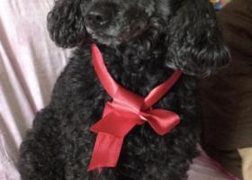 寻狗启示,18年7月16日北京交通大学附近丢失一黑色贵宾犬,它是一只非常可爱的宠物狗狗,希望它早日回家,不要变成流浪狗。