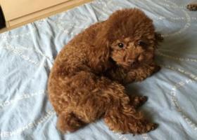 寻狗启示,慧忠北里附近丢失棕色泰迪,找回5000元酬谢,它是一只非常可爱的宠物狗狗,希望它早日回家,不要变成流浪狗。
