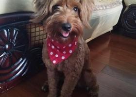 寻狗启示,上海市浦东新区寻狗,小型犬,14斤,泰迪串串,它是一只非常可爱的宠物狗狗,希望它早日回家,不要变成流浪狗。