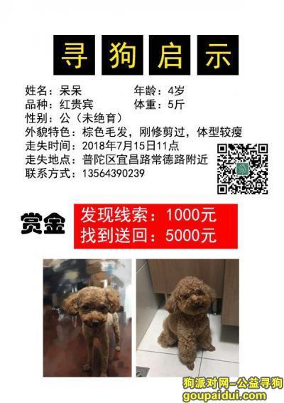 寻狗启示,上海普陀区宜昌路常德路寻找红贵宾,它是一只非常可爱的宠物狗狗,希望它早日回家,不要变成流浪狗。