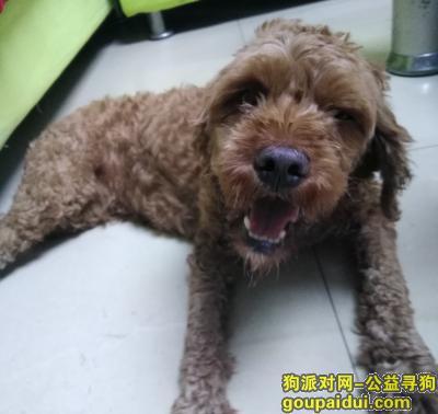 寻狗启示,北湖区同心路七完小附近捡狗捡到一只泰迪狗,它是一只非常可爱的宠物狗狗,希望它早日回家,不要变成流浪狗。