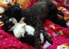 寻狗启示,狗狗生宝宝还没有一个月,它是一只非常可爱的宠物狗狗,希望它早日回家,不要变成流浪狗。