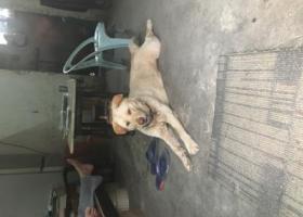 寻狗启示,寻狗,白云区龙归竹木市龙兴西路走丢了一只中华田园犬,它是一只非常可爱的宠物狗狗,希望它早日回家,不要变成流浪狗。