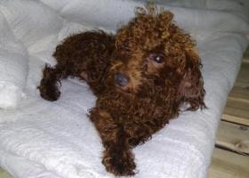 寻狗启示,7月16在增城保利i立方捡到一只公泰迪犬,联系方式QQ516907267,它是一只非常可爱的宠物狗狗,希望它早日回家,不要变成流浪狗。
